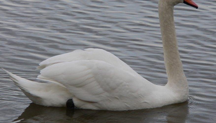 Aprende más sobre el cisne y su cría