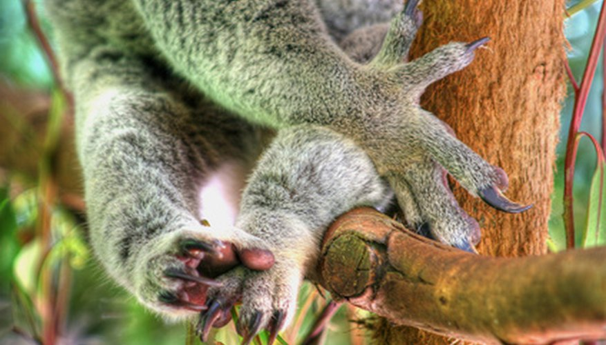 Sharp claws allow the koala to climb and grip the eucalytus tree securely.