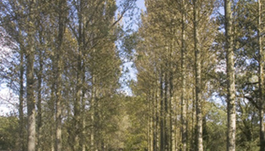 Poplar trees in a field