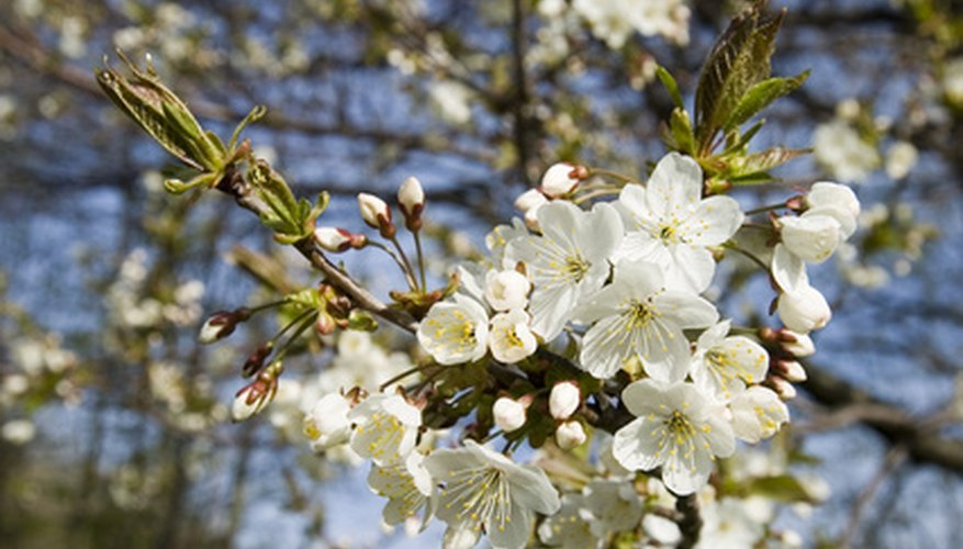 Propagate a cherry tree from seed or by stem cuttings.