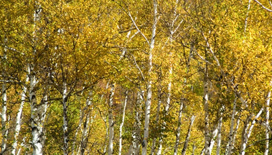 Silver birch trees have white bark and yellow fall color.