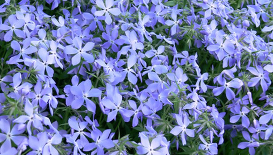 Blue creeping phlox is one of the only varieties of this plant that tolerate shade locations.