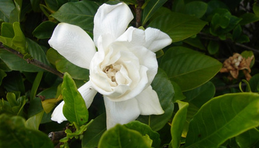 Feed gardenias throughout the growing season.
