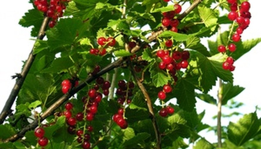 Red currant bush features bright-red berries.