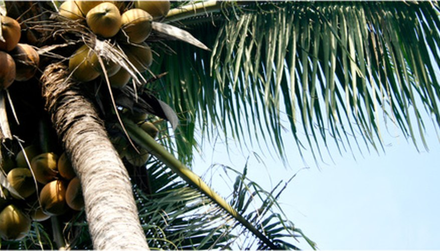 Coconut trees can produce 25 or more nuts each year.