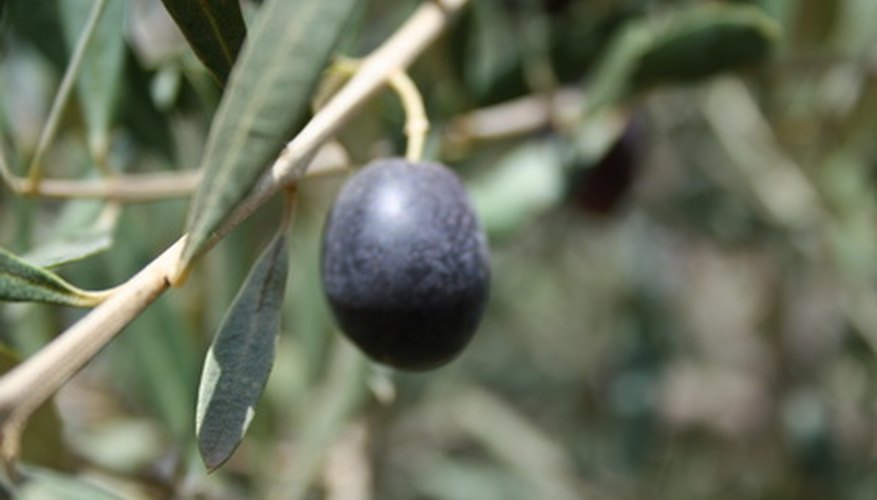 An olive will turn black on the tree when it is ripe.