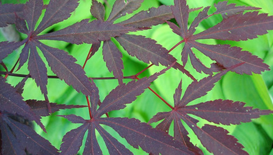 Prized for their color, Japanese red maples grow well in most parts of the U.S.