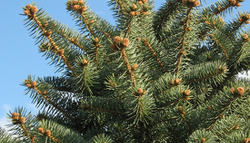 A Norway spruce makes an effective natural barrier.