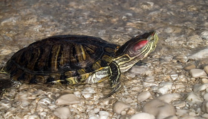 Turtles have a long lifespan in the wild.