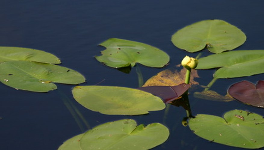 Spatterdock has heart-shaped leaves and a yellow compact flower.