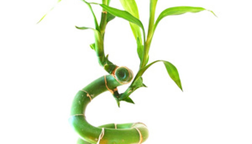 The lucky bamboo can be trained to twist like the one in the photo.
