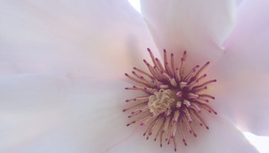 Magnolia stamens and pistils are in the bloom's center.