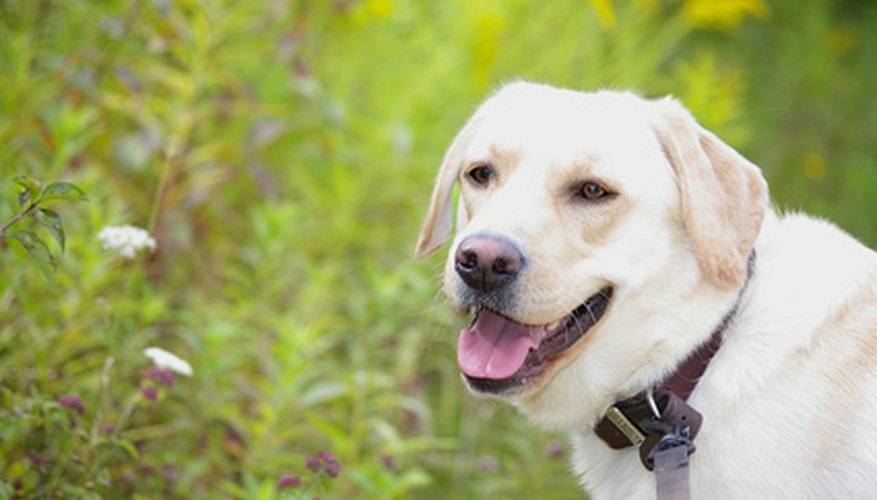 Due to their intense desire to please, Labrador retrievers are among the breeds that often can serve as guide dogs.