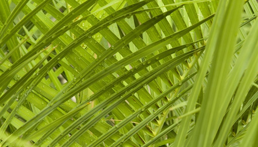Green, leafy indoors palms aren't difficult to grow.