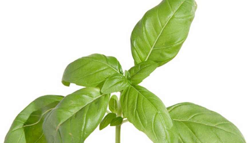 Sweet basil plants are susceptible to insect problems including cutting bugs like caterpillars.