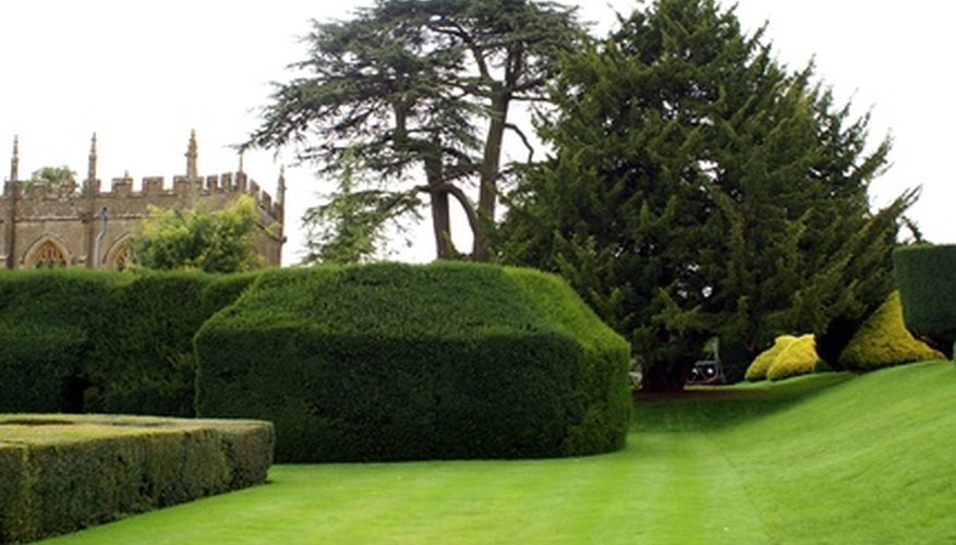 Plant a yew tree in a home landscape.