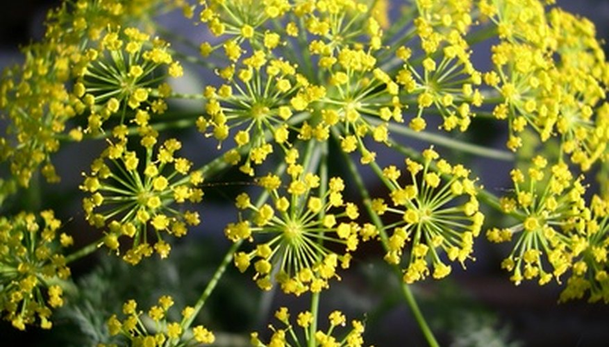 Dill flowers are small and yellow.
