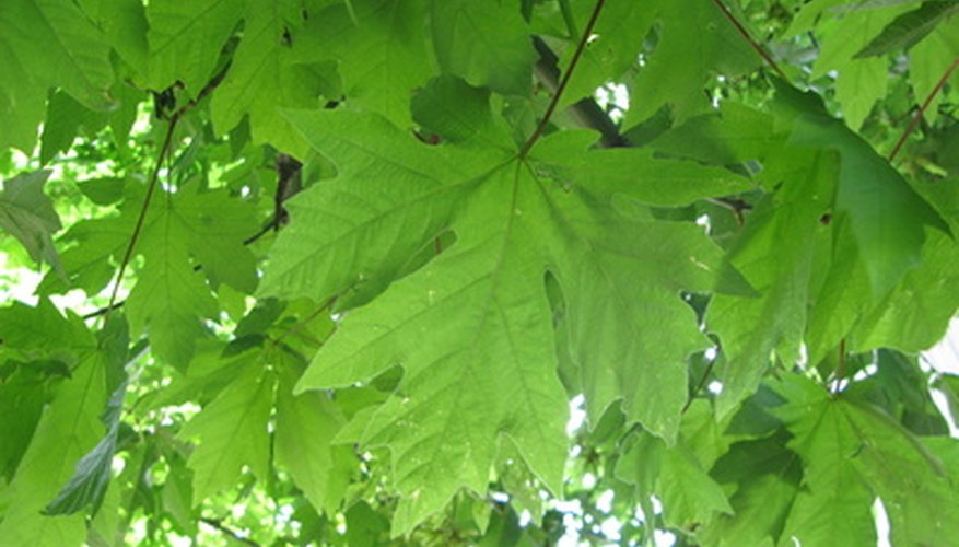Leaf identification is one of the first steps to correctly identifying a tree.
