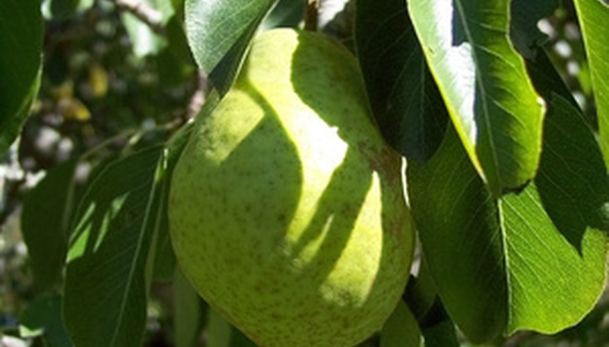 European pears ripening on a tree