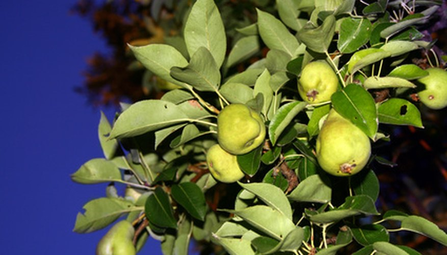 Pear leaves have dull undersides and glossy tops.
