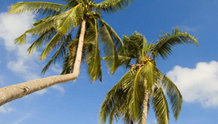 Coconut trees tend to lean from the weight of the coconut.