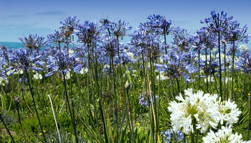Agapanthus flowers feature large clusters of blooms.