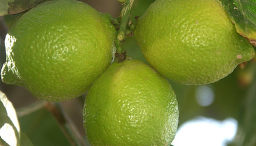 Limes are the smallest of the citrus fruits.