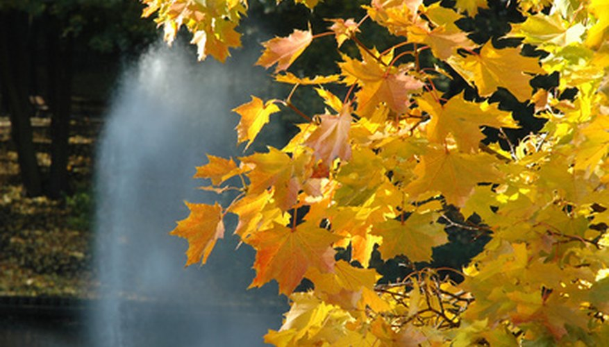 Maple trees are easy to identify in fall with their bright yellow leaves.
