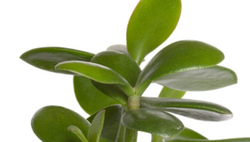 Jade plants have flattened, oval leaves that store water.