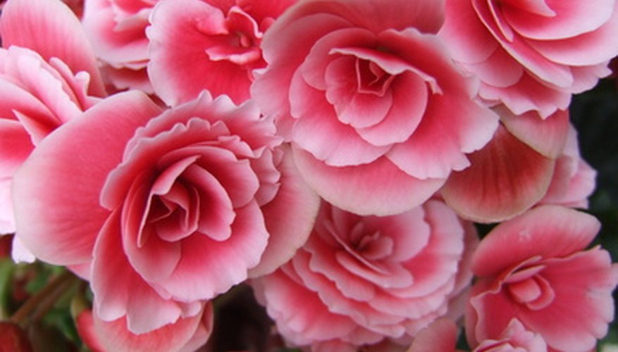 Non-stop begonia plants bloom all summer.