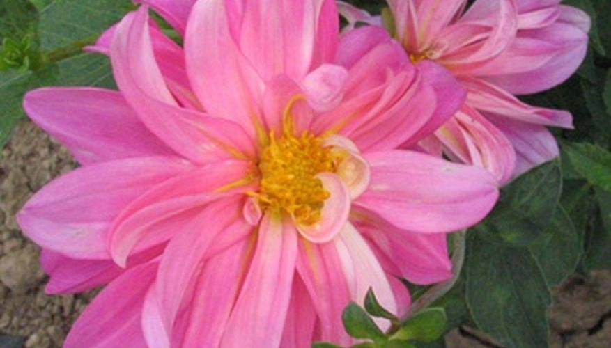 Large dahlias with twisting petals