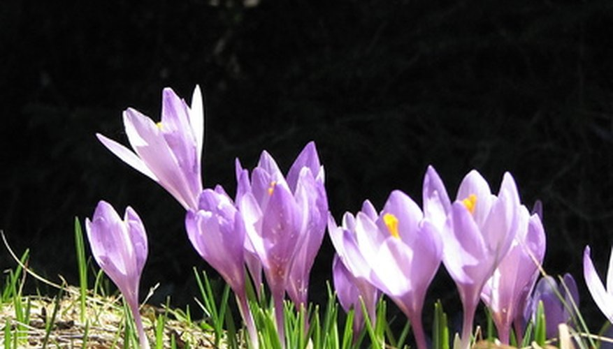 Crocus bloom in late winter or early spring.