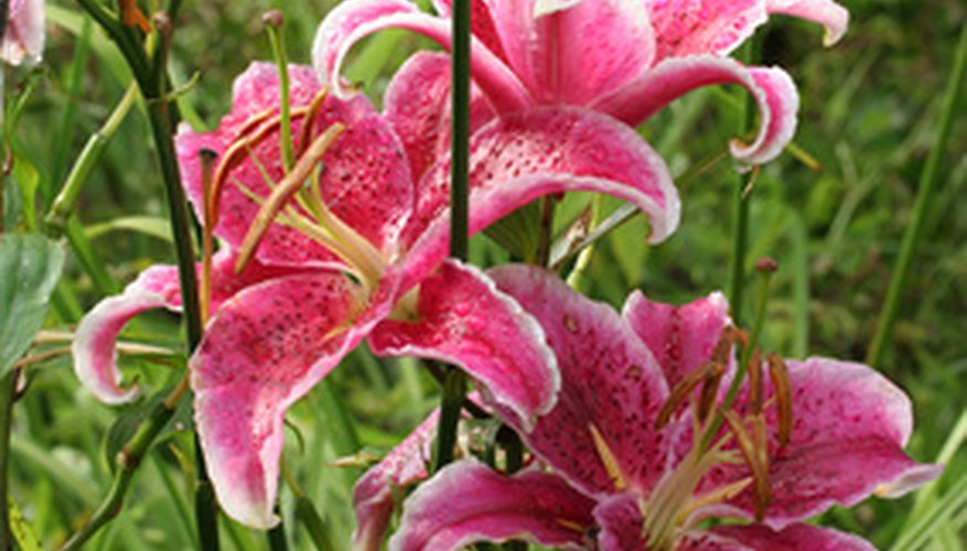 Stargazers are one variety of Oriental lilies.