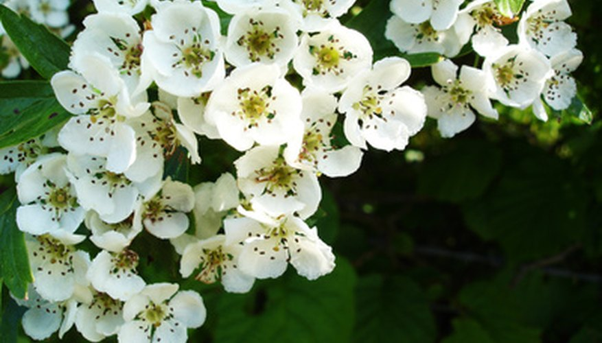 A hawthorn shrub in full bloom.