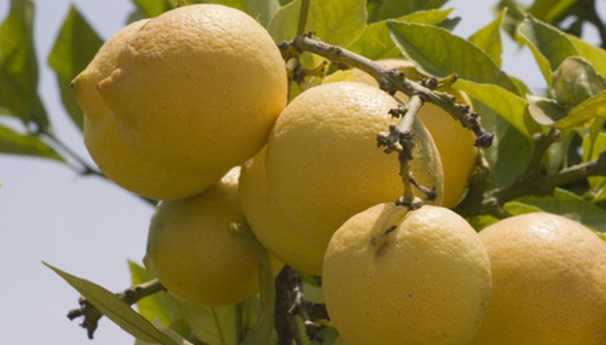 Lemon trees in orchards are tall and may fruit throughout the year.