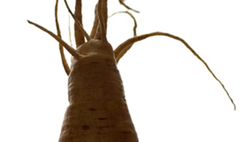 A freshly harvested parsnip root