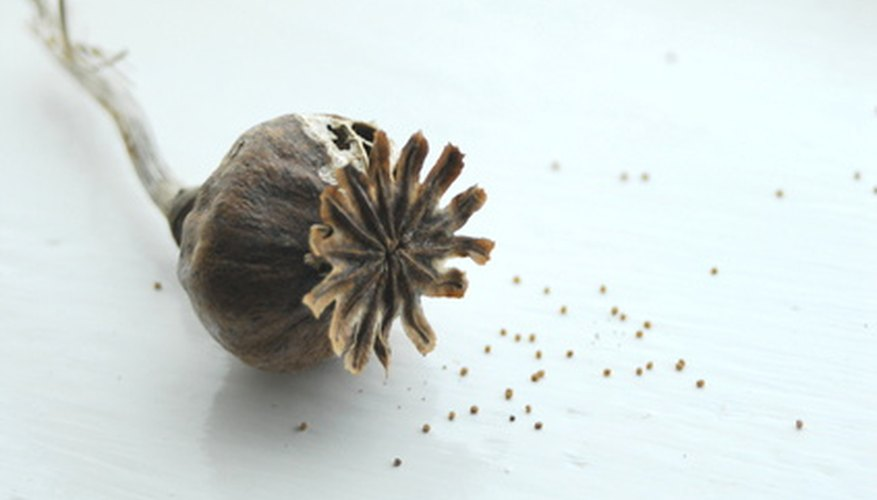 A dried chive flower bursting with tiny seeds.