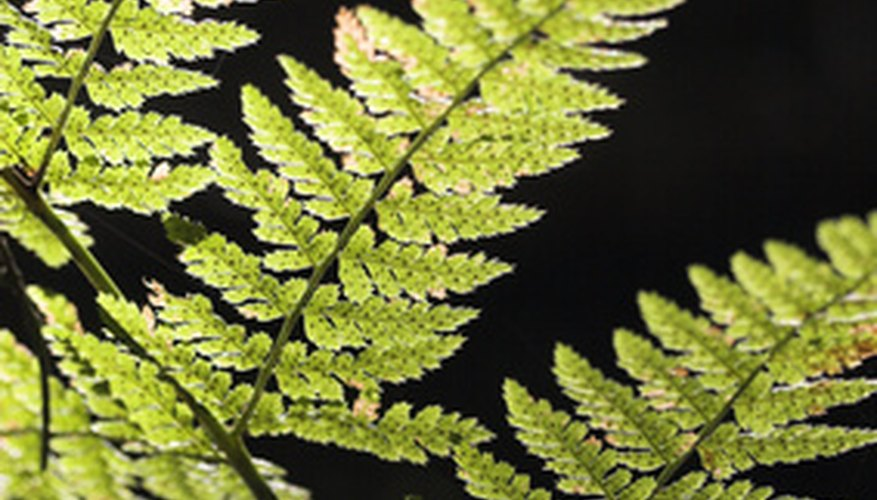Ferns propagate by producing spores on the underside of the leaves.