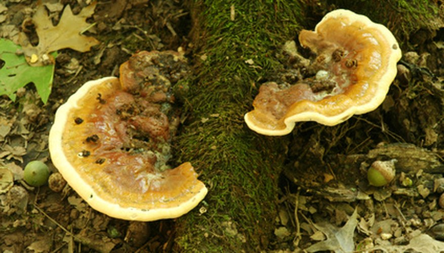 Mushrooms growing on the roots can be a symptom of root rot.