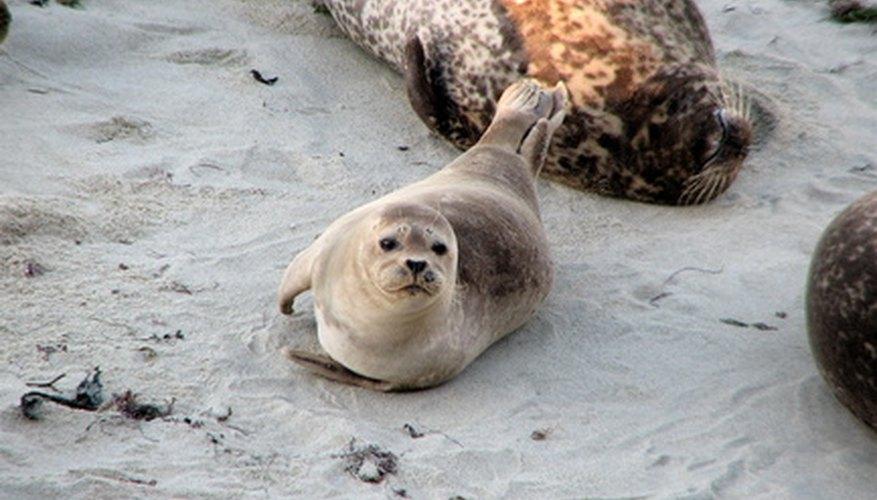 Las focas a veces son tan claras que son casi de color blanco.