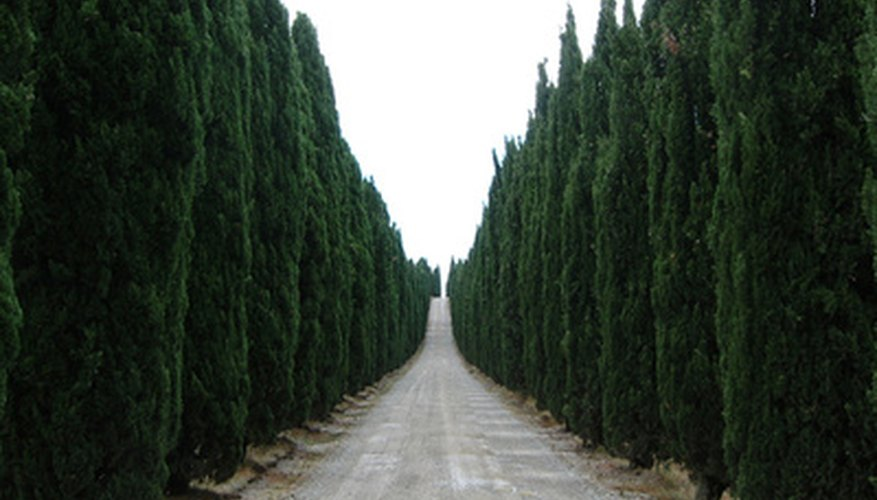Italian cypress are popular trees to boarder avenues or driveways.