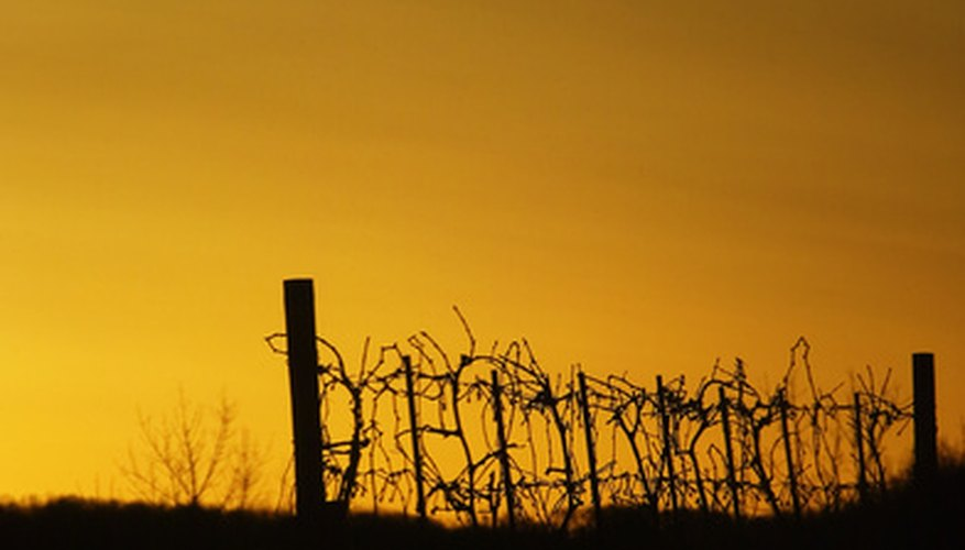 Sudden warm spells followed by winter cold place vines at risk.