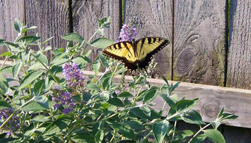 How To Plant, Fertilize, Prune & Water A Butterfly Bush ...