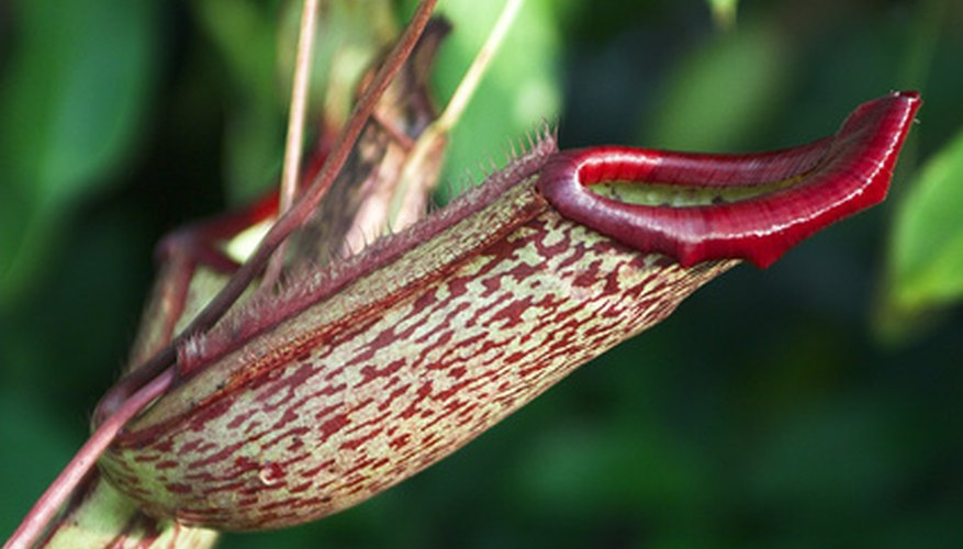 A nepenthes pitcher plant in bloom