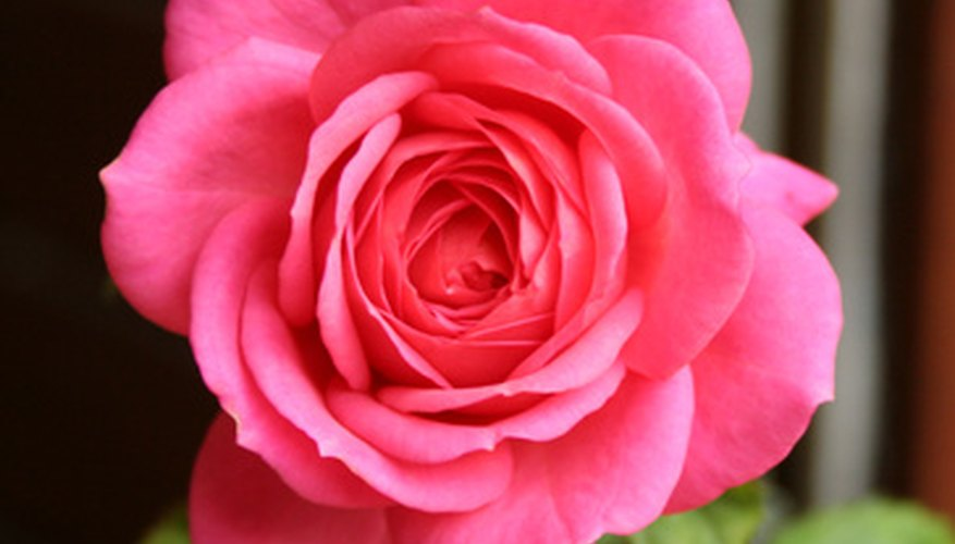 A perfect rose flower, free from rose weevil damage.