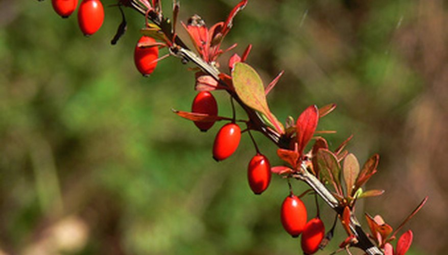 Bayberry is a plant that is strong enough to withstand wind.