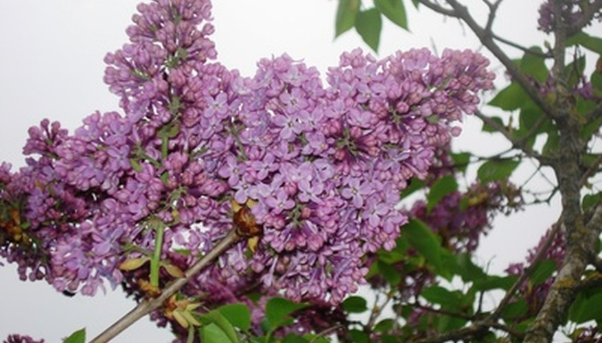 Lilacs can be preserved by drying.