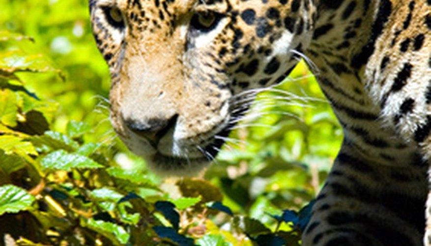 Los jaguares son uno de los más esquivos animales en Ecuador.