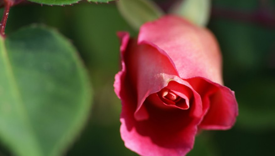 Roses can easily be grown as potted plants indoors.