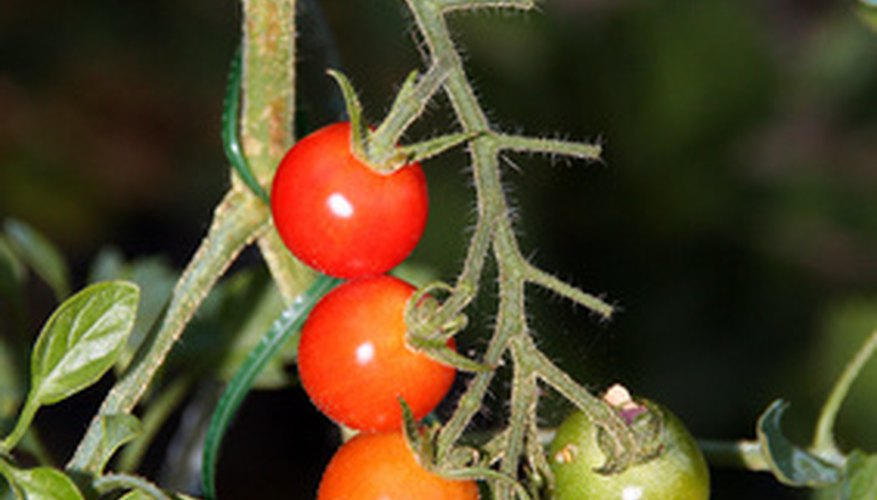A cluster of cherry tomatoes on a tomato plant.